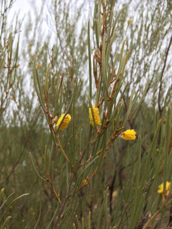 Acacia Aneura Flinders Ranges Field Naturalists